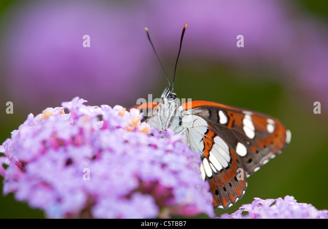 Southern White Admiral Butterfly; Limenitis reducta; captive on verbena - Stock-Bilder