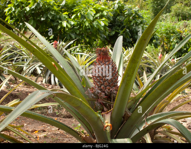 how to grow a pineapple plant from a pineapple
