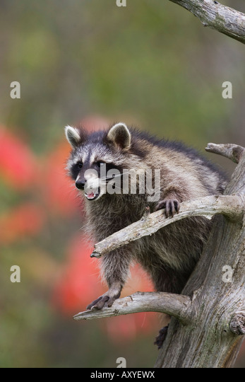 Raccoon (racoon) (Procyon lotor) in a tree with an open mouth, in captivity, Minnesota Wildlife Connection, Minnesota, - Stock Image