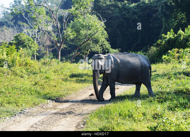 A wild elephant in Kaziranga national park in Assam, India. - Stock Image