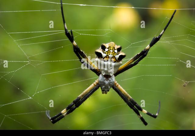 Silver Argiope Spider - Los Novios Ranch - near Cotulla, Texas USA - Stock Image