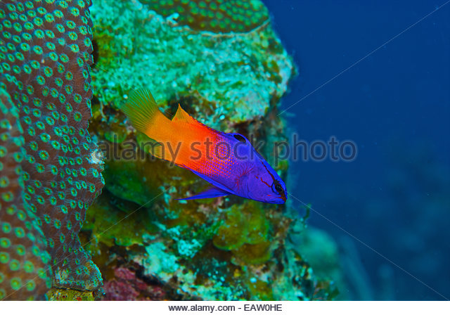 A fairy basslet (Gramma loreto) hovers near a coral head. - Stock Image