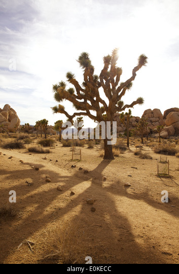 The sun shines in the distance behind a group of back lit Joshua Trees in Joshua Tree National Park in Southern - Stock-Bilder