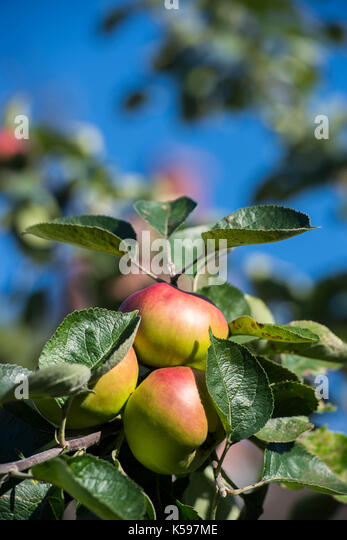 Apples growing on an apple tree - Stock Image