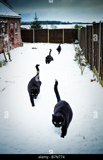 Four lucky black cats in a garden in deep snow PR - Stock Image