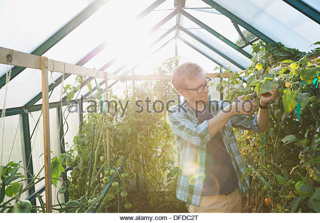 Man cutting tomato plant in greenhouse - Stock Image