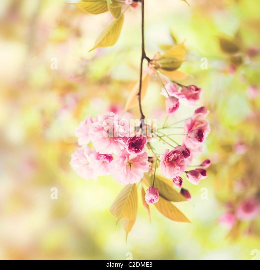 Cherry blossom flowers of Prunus Kanzan AGM - Stock Image