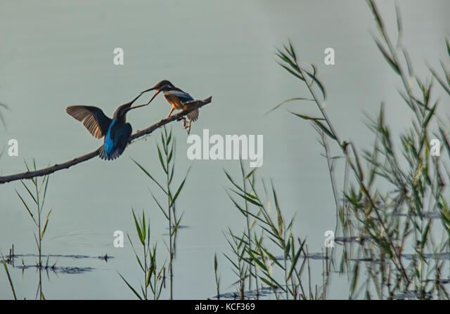 Poda Burgas, Bulgaria. 4th Oct, 2017.  Bird watchers were treated to sunshine and a rare sighting two king fisher - Stock Image