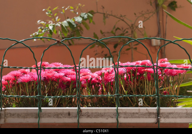 Closeup of colorful pink flowers in flower box with wire enclosure in Monterosso, Cinque Terre, Liguria, Italy, - Stock Image