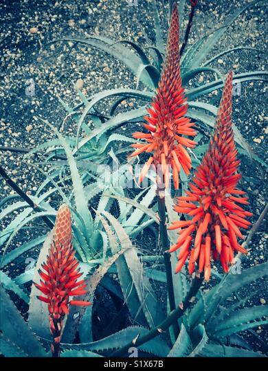 Red hot poker flowering plants - Stock Image