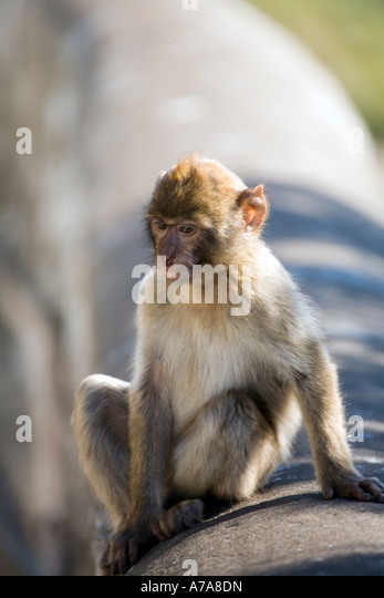 Young Gibraltar Ape sitting on a wall deep in thought - Stock Image