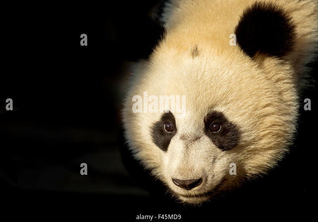 Giant Panda (Ailuropoda melanoleuca) sub adult in atmospheric light. Bifengxia, China. Captive. Crop - Stock Image