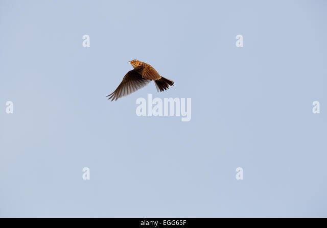 Skylark; Alauda arvensis; Songflight; UK - Stock Image