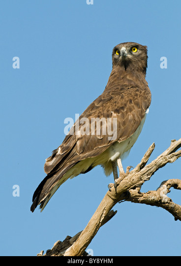 Black-breasted Snake Eagle - Stock Image