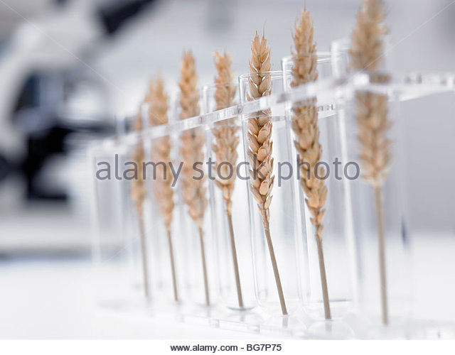 Wheat in test tubes - Stock Image