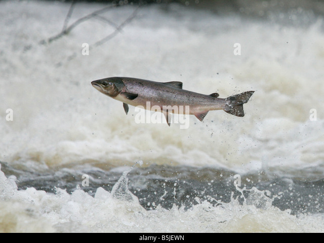 Wild salmon leaping upstream at the  Philiphaugh cauld near at Selkirk in the Scottish Borders - Stock-Bilder