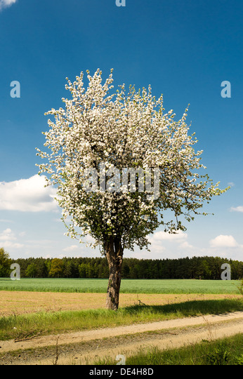 Brandenburg, Germany, Apple Tree in Uckermark in the vicinity of Templin - Stock Image