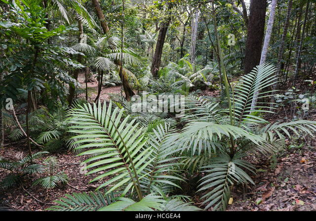 Palm trees growing in a forest of New Caledonia, Grande Terre island, south Pacific - Stock Image