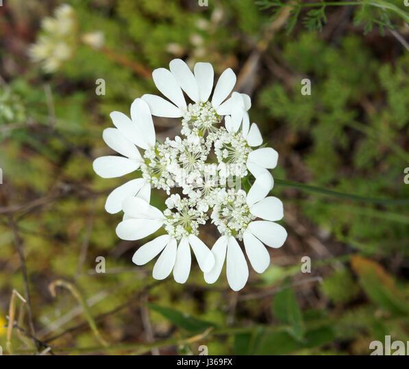 Parsnip plant,White wildflower, Dalmatia, Coatia - Stock Image