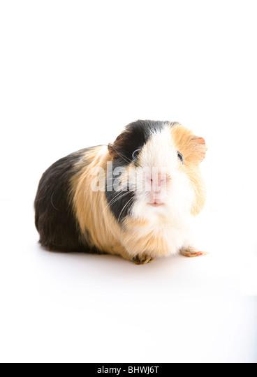 Tortoiseshell guinea pig, white background - Stock Image