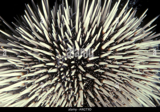 pencil urchin with white spines underwater coral reef - Stock Image
