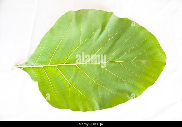 teakwood leaf on white background - Stock-Bilder