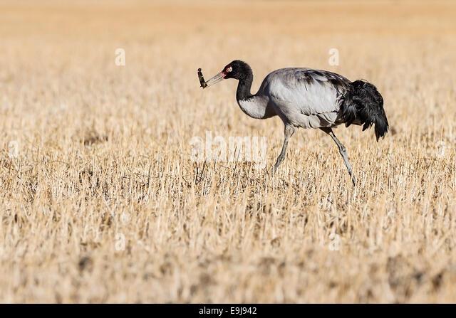 A Black-necked crane (Grus nigricollis) foraging at winter feeding grounds in sheltered valley of Lake Napa, Yunnan, - Stock-Bilder