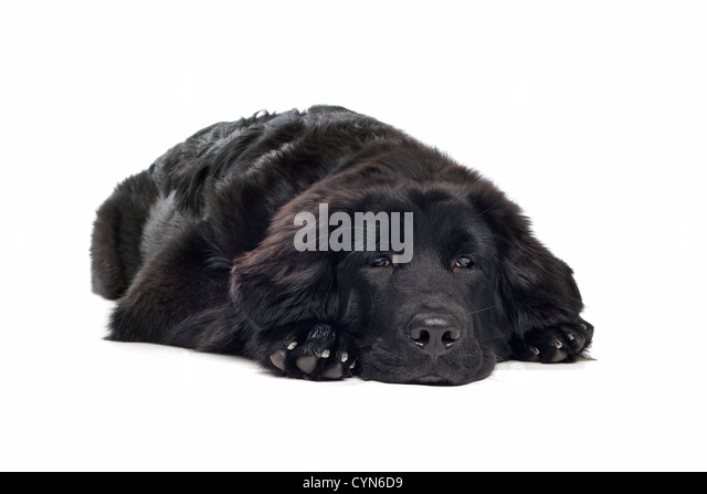 Tibetan Mastiff Stock Photos & Tibetan Mastiff Stock ...