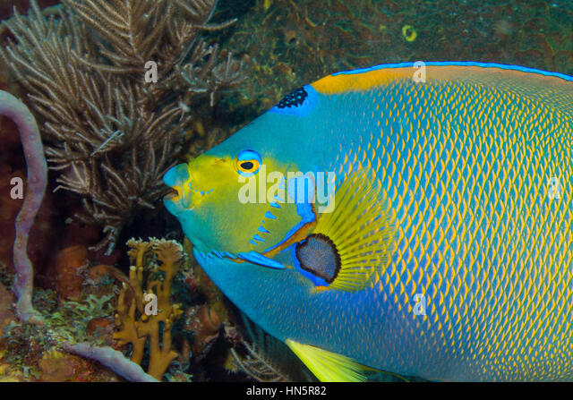 Close-up of a Queen angelfish on a coral reef in Key Largo. - Stock-Bilder