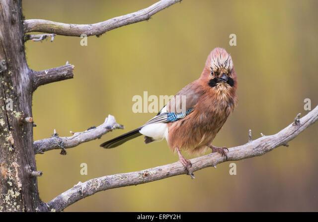 Eurasian Jay, Garrulus glandarius, Gällivare, Swedish lapland - Stock-Bilder