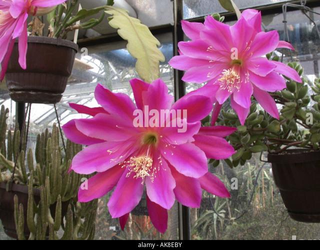epiphyllum hybrid epiphyllum hybride stock photos