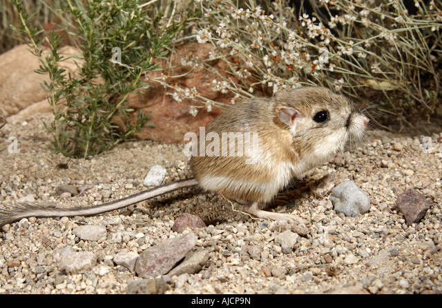 Heteromyidae Stock Photos & Heteromyidae Stock Images - Alamy