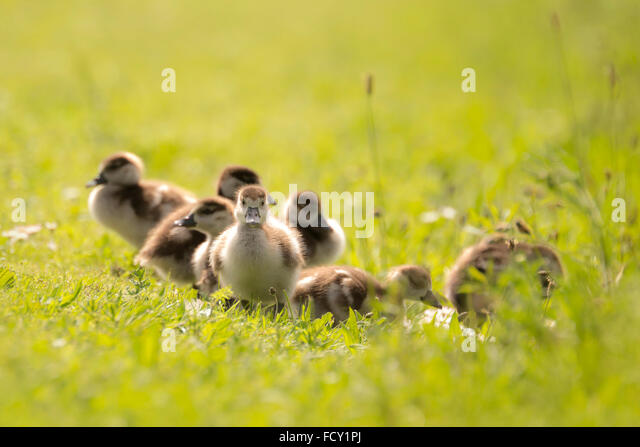 Group of Egyptian goose (Alopochen aegyptiacus) chicks exploring the world and walking a meadow with white flowers - Stock-Bilder