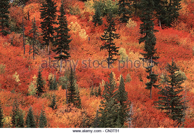 Vine Maples in autumn, Washington, USA - Stock Image