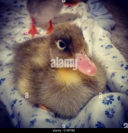 Baby Flower the miracle duck - Stock Image