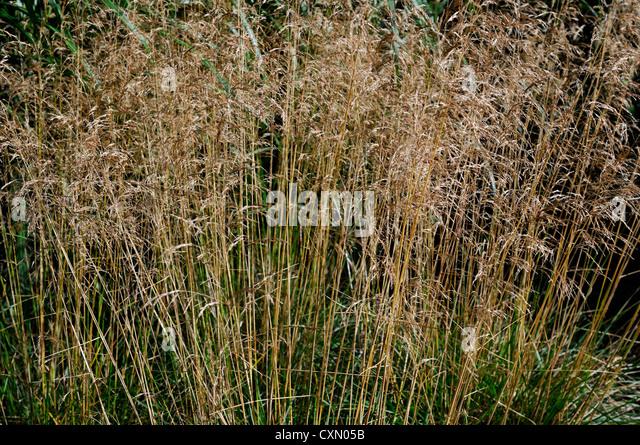Deschampsia stock photos deschampsia stock images alamy for Long grass plants