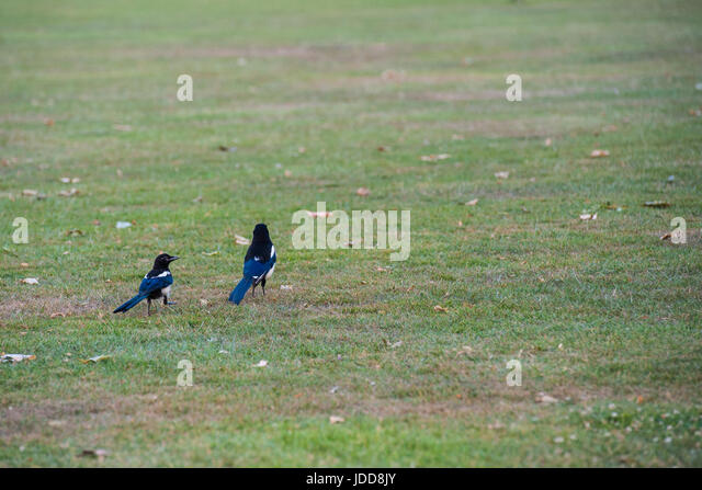 Two for joy - magpies - Stock Image