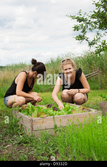 Women in garden picking salad - Stock Image