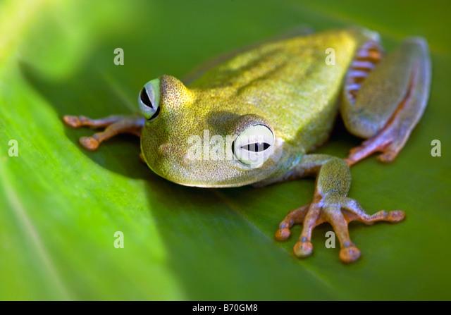 Suriname, Brownsweg, Brownsberg National Park. Orange Legged Tree Frog. Also: Tigerleg Monkey Tree Frog. - Stock-Bilder