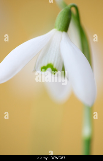 delicate and beautiful January flower epitomising early Spring fine art photography Jane Ann Butler Photography - Stock Image