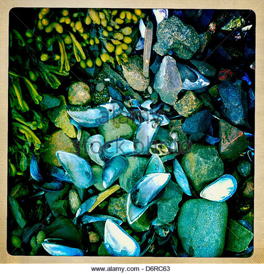 Mussel Shell On Rocks - Stock Image