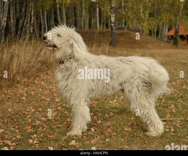 Komondor Dog Stock Photos & Komondor Dog Stock Images - Alamy
