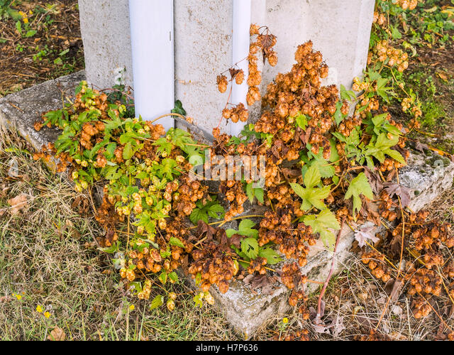 "Wild Hop flowers / ""Humulus lupulus"" at base of concrete pylon - France. - Stock Image"