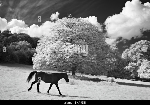 horses at Minterne Magna, Dorset, England, UK - Stock Image