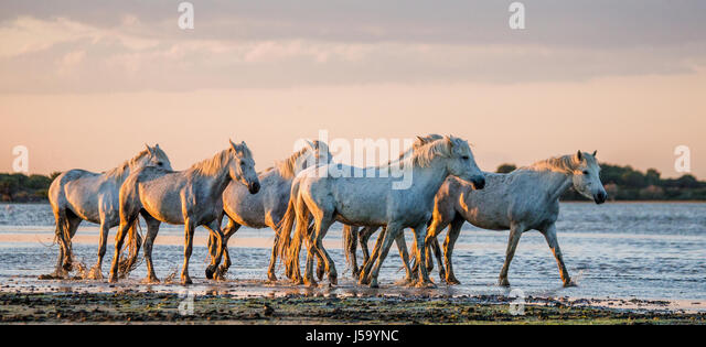 White Camargue Horses stand in the swamps nature reserve. Parc Regional de Camargue. France. Provence. An excellent - Stock Image