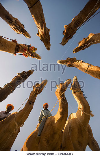A group of camels are circled around at the Pushkar Camel Fair, Rajasthan, India - Stock-Bilder