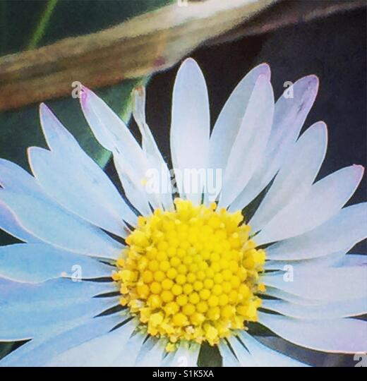 White flower on macro - Stock Image