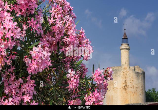 Flowers, Aigues-Mortes, Provence, Camargue, Languedoc-Roussillon, France Avignon, Bouche du Rhone, - Stock Image
