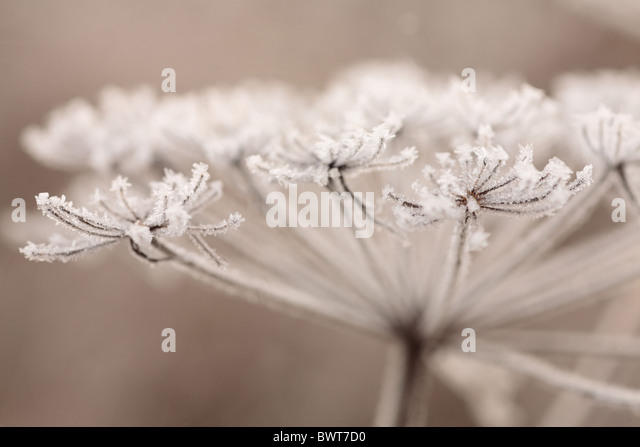 Angelica sylvestris wild nature natural wildlife environment environmental europe european powys wales britain british - Stock Image