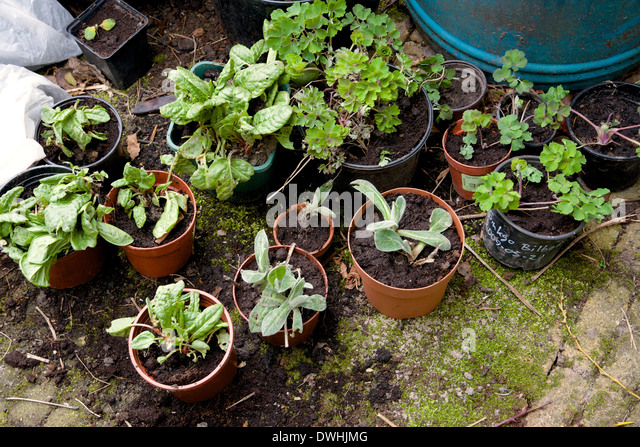 Plants in a backyard in pots, waiting to be transplanted into the garden. - Stock Image